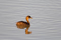Little grebe (dabchick); Stock Photos