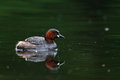 Little grebe on lake with reflection Stock Photography