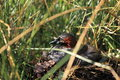 Little grebe the sitting in the nest Stock Photo