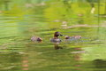 Little grebe tachybaptus ruficollis nesting in japan Royalty Free Stock Photos