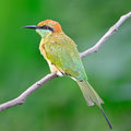Little green bee eater beautiful bird merops orientalis resting on a perch back profile Stock Photos