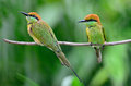 Little green bee eater couple of bird merops orientalis resting on a perch breast and back profile Stock Photos