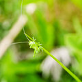 Little green grasshopper sitting on green leaf Royalty Free Stock Photo