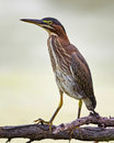 Little green heron waiting for fish Stock Photos