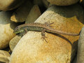 Little green lizard crawling on rocks and basking in the sun Royalty Free Stock Photo
