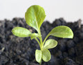Little green seedling sprout in fertile soil Stock Photo