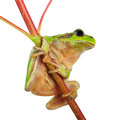 Little green wood frog Royalty Free Stock Photography