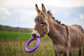 Little grey donkey with toy Royalty Free Stock Photo