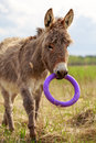 Little grey donkey with toy Stock Images