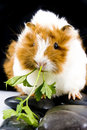 Little guinea pig Stock Images