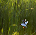 The Little Gull (Larus minutus) in flight on the green grass background. Royalty Free Stock Photo