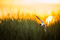 The Little Gull (Larus minutus) in flight on the green grass sunset background Royalty Free Stock Photo