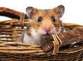 Little hamster in a basket close up Stock Photo