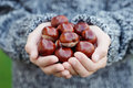 Little hands with chestnuts Stock Image