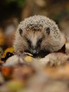 Little Hedgehog Stock Image