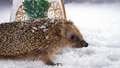 Little hedgehog searching for fodder in the snow poor woke up winter and is Royalty Free Stock Photos