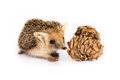Little hedgehog on white background Royalty Free Stock Photo