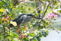 Little Heron (Butorides Striatus) Stock Images