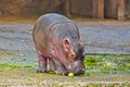Little hippo cub in new delhi zoo Stock Photo