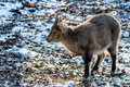 Little horned Ibex in front of stony Background with snow Royalty Free Stock Photo