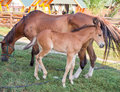 Little horse foal and its mother feeding at green grass Royalty Free Stock Photo