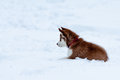 Little husky in the deep snow Royalty Free Stock Photography