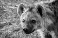 Little hyena portrait shot at sabi sands south africa Stock Photography