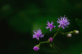 Little ironweed, Vernonia cinerea  Herb Less purple flower Royalty Free Stock Photo
