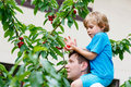 Little kid boy and father  picking cherries in garden Royalty Free Stock Photo