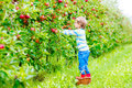 Little kid boy picking red apples on farm autumn Royalty Free Stock Photo