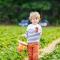 Little kid boy picking strawberries on farm, outdoors. Royalty Free Stock Photo