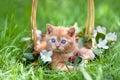 Little kitten in a basket Royalty Free Stock Photo