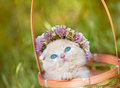 Little kitten crowned with a chaplet of clover Royalty Free Stock Photo