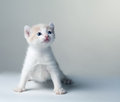 Little kitten on a gray background Stock Images