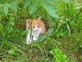 Little kitten hiding in green grass Royalty Free Stock Photo