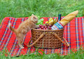 Little kitten and the picnic basket sniffing outdoors Stock Photography