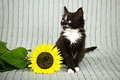 Little kitten with sunflower Stock Photos