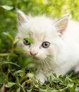 Little kitten is walking in green grass outdoors Royalty Free Stock Photo