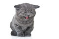 Little kitty meows Royalty Free Stock Image
