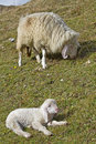 Little lamb with mother Royalty Free Stock Photo