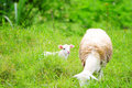 Little lamb with it s mother in a green pasture field Stock Photo