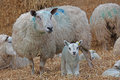 Little lamb standing next to ewe Stock Photos