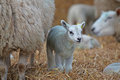 Little lamb standing next to ewe Royalty Free Stock Photography
