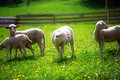 Little lambs grazing on a beautiful green meadow with dandelion.