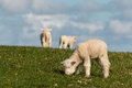 Little lambs Royalty Free Stock Photo