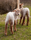 Little lambs in spring Stock Photography