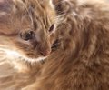 Little lazy cat, domestic cat close up, brown cat portrait Royalty Free Stock Photo