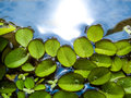 little leaves of water fern floating on water Royalty Free Stock Photo