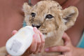 Little lion cub drinking milk photo set of people taking care of month old male Stock Photos