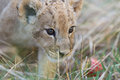 Little lion cub in grass photo collection of month old male very cute creature Royalty Free Stock Image